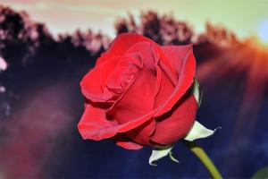 punainen ruusu-001