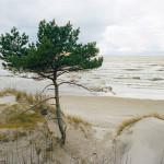 Yksinäinen mänty Palangan rannalla
