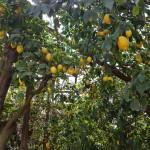 Sitruunapuita Amalfin alueella