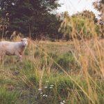 Lammas Kihnun saarella