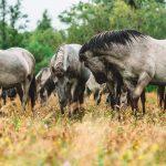 Villihevosia Papen luonnonpuistossa