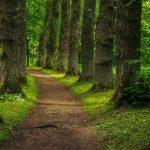 Polku metsässä vanhojen lehtipuiden keskellä.