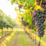 Viinirypäleterttuja kreetalaiselta viinitilalta