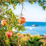 Granaattiomenapuun oksa ja hedelmiä etualalla, taustalla meri.