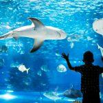 Pieni poika pitää käsiä akvaariolasia vasten ja katsoo uivia kaloja, haita ja rauskua.