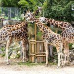 Neljä kirahvia syömässä.