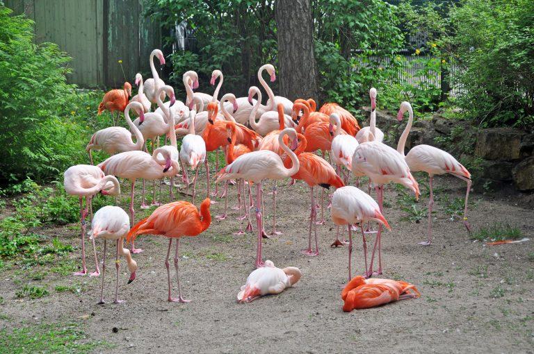 Flamingoja kokoontuneena yhteen.