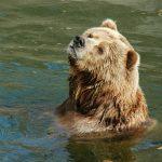 Karhu katsoo ylöspäin vesialtaassa.