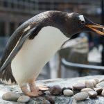 Pingviini kivi suussa Bergenin akvaariossa