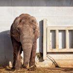 Elefantti Tallinnan eläintarhassa.