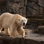 Jääkarhu eläintarhassa.