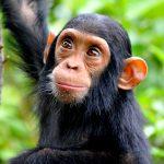 Simpanssin poikanen.