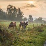 Kaksi hevosta laitumella kevyesti usvaisena kesäaamuna.