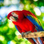 Punainen arapapukaija istuu oksalla.