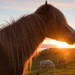 Islanninhevosia laiduntamassa keskiyön auringon aikaan.