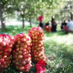 Omenasäkkejä vihreällä nurmikolla