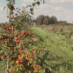 Omenapuita puutarhassa