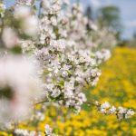 Valkoisia omenakukkia puussa