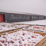 Lunta satanut omenalaatikoiden päälle