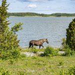 Ruskea hevonen kävelee rannassa kahden havupuun välissä.