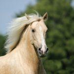 Vaalea hevonen vihreässä luonnossa