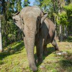 Elefantti tulee lähelle Kolmårdenin eläintarhassa.