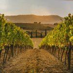Kumpuileva viiniviljelmä Egerissä, Unkarissa
