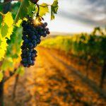Punaisia viinirypäleitä auringonlaskussa, Eger.