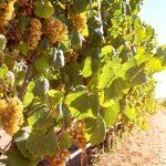 Valkoiset viinirypäleet auringonvalossa, Ranska.