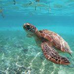 Merikilpikonna-photoby-Olga-Tsai